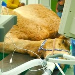 Rumah Sakit Khusus Unta Pertama di Dunia: Camel Hospital